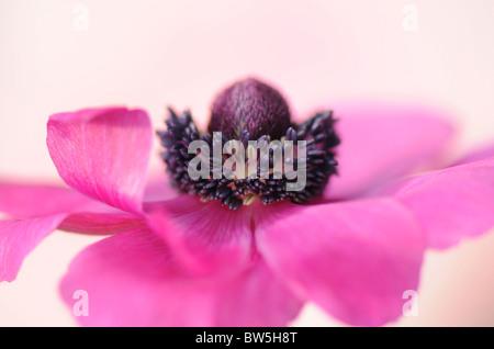 A single pink Anemone De Caen coronaria flower - Stock Photo