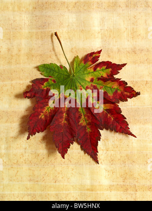 A red and green Maple leaf in Autumn on a papyrus background - Stock Photo