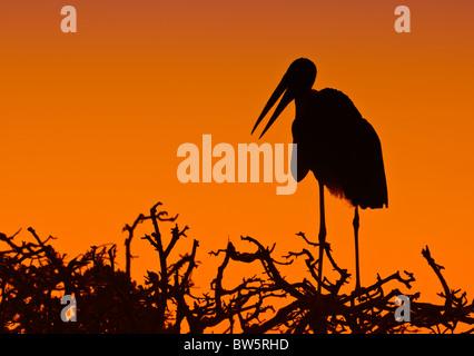 Marabou stork ((Leptoptilos crumenifer) Silhouette standing on top of a tree at sunset Okavango Delta Botswana Africa - Stock Photo