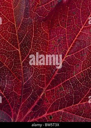 Macro close-up of leaf veins - Stock Photo