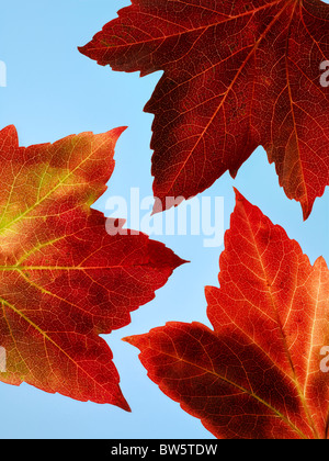 Close -up of three red and yellow Autumn vine leaves with blue sky beyond