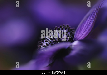 A single purple Anemone De Caen coronaria flower - Stock Photo
