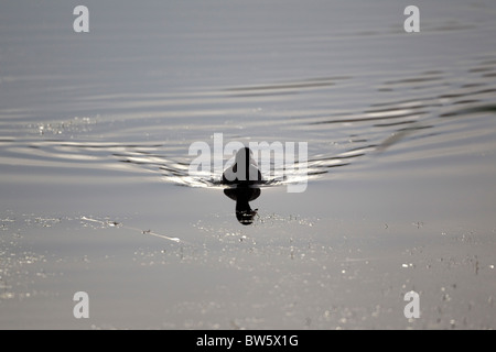 Coot Fulica Atra largely in silhouette swimming towards the camera on a bright autumnal day on a calm pond - Stock Photo