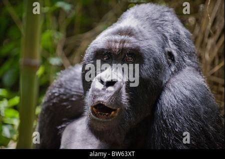 Mountain gorilla Gorilla gorilla berengei silverback Parc National des Volcans - Stock Photo