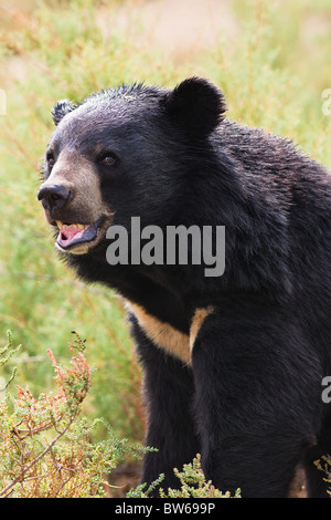 Asian Black Bear portrait in nature - Stock Photo