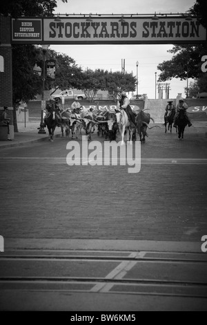 Cowboys with their horned cows at the cattle drive, Dallas Forth Worth Stock Yard - Stock Photo