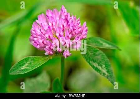 Red Clover (trifolium pratense) flowerhead - Stock Photo