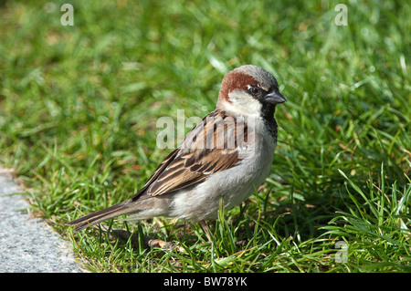 House Sparrow (Passer domesticus), adult male standing in grass. - Stock Photo