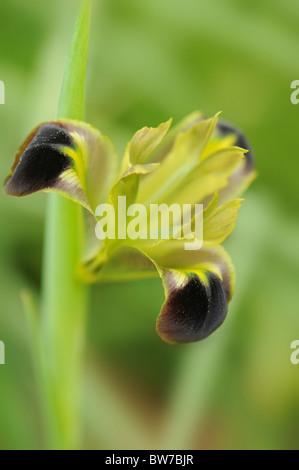 A single flower of Hermodactylus tuberosus - Iris tuberosa - Widow Iris or Snakes-head Iris - Stock Photo