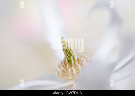 A single flower of Magnolia stellata - star magnolia - Stock Photo