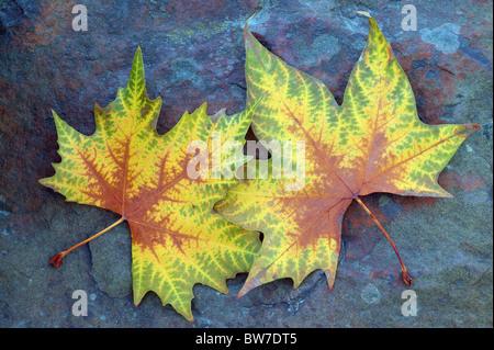 Two plane tree autumn leaves on the bluish stone Platanus acerifolia - Stock Photo
