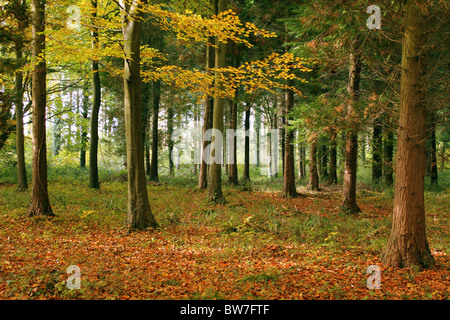 Forest woodland scene on an Autumn day - Stock Photo