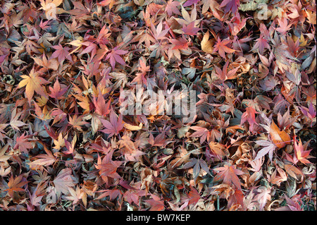 Fallen japanes maple red and purple autumn leaves Acer palmatum - Stock Photo