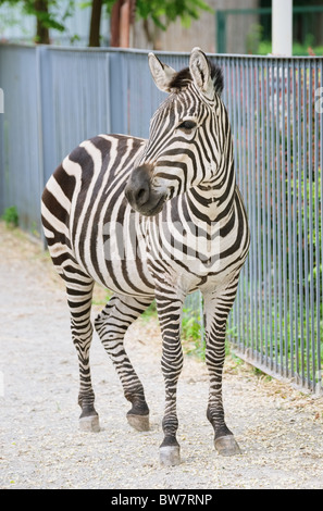 Zebra pregnant ten days to foul birth, Kyiv Zoo, Ukraine - Stock Photo