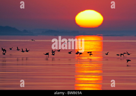 Long-tailed duck (Clangula hyemalis) flying low over water at sunset, Porvoo, Finland, May 2008 - Stock Photo