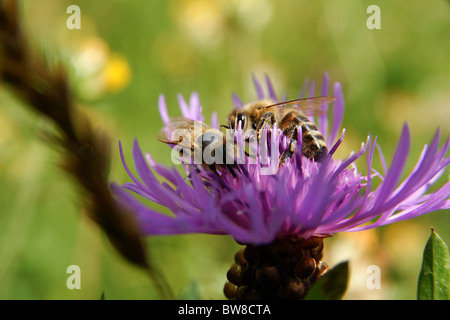 Close-up of bee sitting onpink field flower - Stock Photo