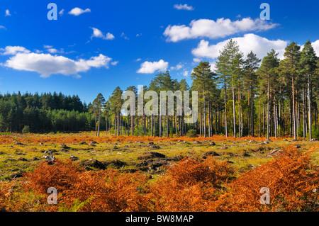 New Forest National Park, pine tree plantation clearing, Hampshire, England, UK - Stock Photo