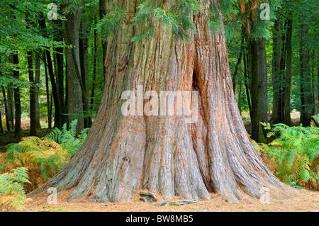Giant Redwood/Sequoia tree (Sequoia Giganteum) aka Wellingtonia - Stock Photo