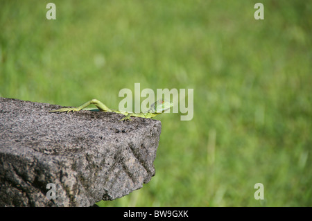 A young Emerald Basilisk (Basiliscus plumifrons) perched on a stone bench in Sarapiqui, Puntarenas, Costa Rica. - Stock Photo
