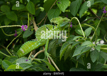 An adult male Emerald Basilisk (Basiliscus plumifrons) perched in a garden hedge in Alajuela, Costa Rica. - Stock Photo