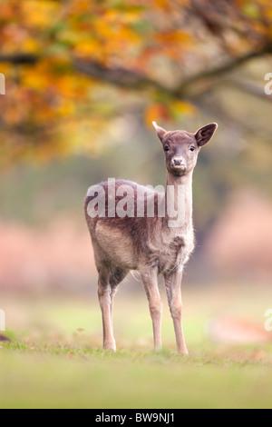 Fallow Deer; Dama dama; female; - Stock Photo