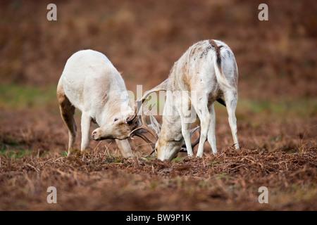 Fallow Deer; Dama dama; stags rutting; - Stock Photo