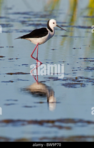 Black-winged Stilt standing in water - Stock Photo