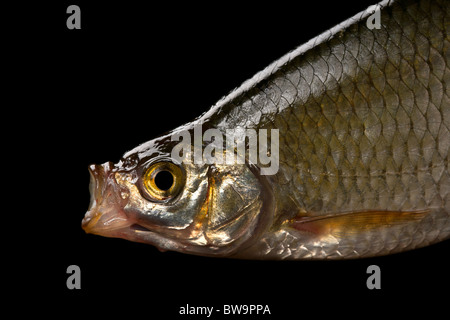 Common rudd most widespread fresh-water fish in territory of Asia and Europe. - Stock Photo