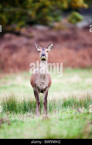 Red Deer; Cervus elaphus; female; - Stock Photo