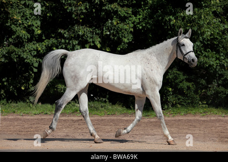 A white Andalusian stallion in the sun - Stock Photo