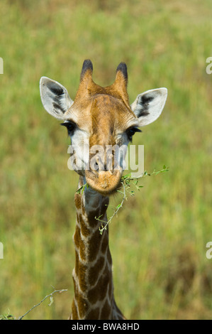 Giraffe, Kruger National Park, South Africa - Stock Photo