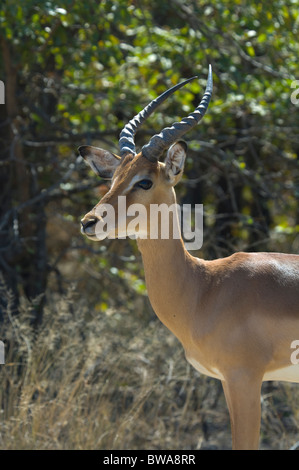 Male Impala Aepyceros melampus Kruger National Park South Africa - Stock Photo