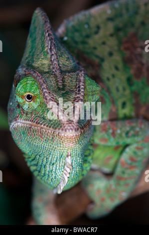 chameleon from Yemen - Stock Photo