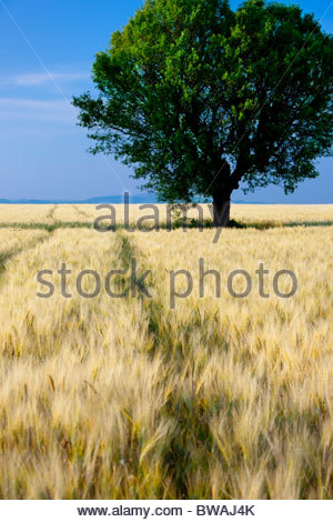 Lone tree in field of barley on the Valensole Plateau, Provence France - Stock Photo