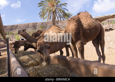 Fuerteventura, Canary Islands - La Lajita Zoo, camel trough on the camel ranch, safari animals. - Stock Photo