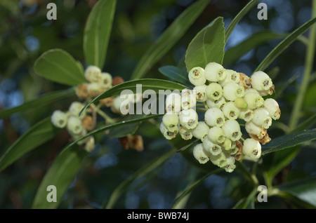 Flowers of the Strawberry tree (Arbutus unedo) - Stock Photo
