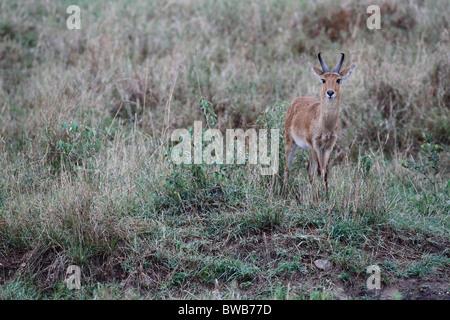 Masai Mara Reedbuck, Kenya - Stock Photo