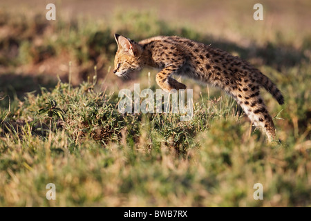 Hunting Serval Cat, Masai Mara Game Reserve, Kenya. - Stock Photo