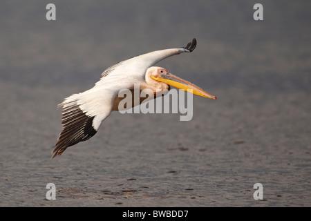 Great White Pelican in flight, Lake Nakuru Nationalpark, Kenya. - Stock Photo