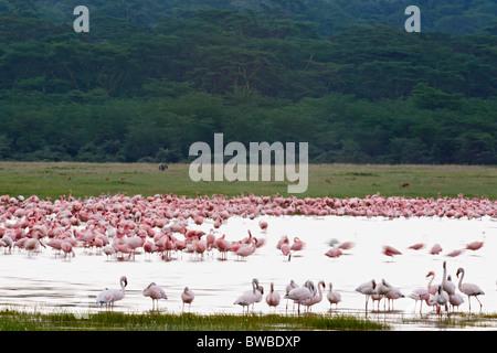 Lesser and Greater Flamingos at the Lake Nakuru, Kenya. Lake Nakuru Nationalpark, Rift Valley Province. - Stock Photo