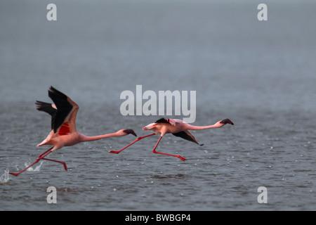 Starting Lesser Flamingos, Lake Nakuru, Kenya. - Stock Photo