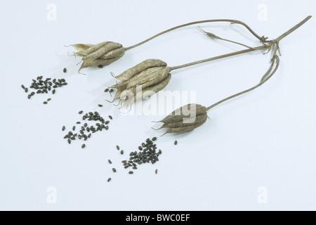 Columbine, Grannys Bonnet (Aquilegia vulgaris), fruit and seeds, studio picture. - Stock Photo