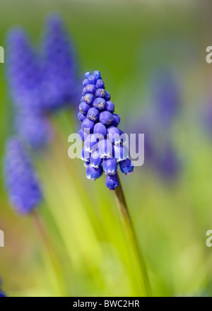 Landscape, Gardens, Plants, Invasive Spanish bluebell in early spring in an English garden. - Stock Photo