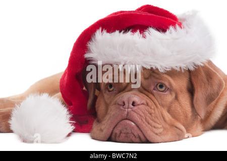 Charming dogue de bordeaux puppy with Santa hat - Stock Photo