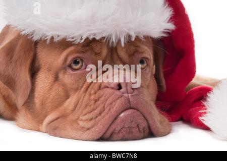 Dogue de bordeaux puppy with Santa hat - Stock Photo