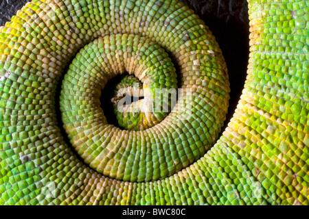 Coiled tail of a Meller's chameleon - Stock Photo
