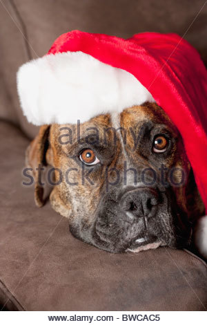 USA, California, La Quinta, Boxer in Santa hat lying on sofa - Stock Photo