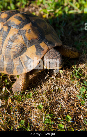 A turtle on a grass field - Stock Photo