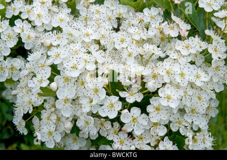 Hawthorn blossom in spring - Stock Photo