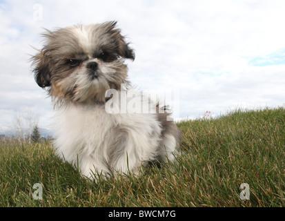 fluffy Shitsu puppy sitting on green grass - Stock Photo